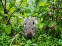Закройте вверх по фото nutria, также вызванному нутрией или крысой реки, против зеленой предпосылки стоковое фото