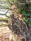 Закройте вверх по характеристике ветвей корней дерева растущих обернутых вокруг Стоковые Фото