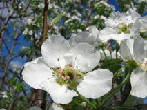 Закройте вверх по цветениям груши против голубого неба под sunlights Стоковая Фотография RF