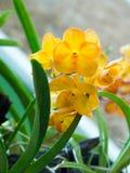 Закройте вверх по цветкам орхидеи желтого цвета цветеня в естественном backgroun сада Стоковые Фотографии RF