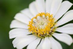 Закройте вверх по цветку белого zinnia Стоковое фото RF