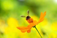 Закройте вверх по цветку и пчеле космоса стоковое фото rf