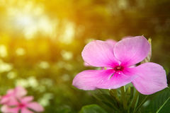 Закройте вверх по цветку Мадагаскара в солнечном свете mornig Стоковое Изображение