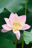 Закройте вверх по цветку лотоса Стоковое фото RF