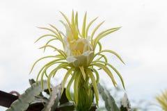 Закройте вверх по цветку плодоовощ дракона дерева от Таиланда Стоковые Изображения