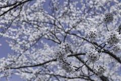 Закройте вверх по цветку Сакуры цветения на дереве под небом зимы стоковая фотография