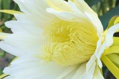 Закройте вверх по цветку ThanhLong в солнечном свете Стоковые Изображения
