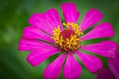Закройте вверх по цветку zinnia Стоковое фото RF