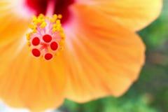 Закройте вверх по цветню с sinensis и зеленым цветом rosa гибискуса нерезкости стоковые изображения rf