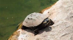 Закройте вверх по черепахе на камне от положения пруда стоковое изображение rf