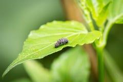 Закройте вверх по черной гусенице Стоковая Фотография RF