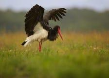 Закройте вверх по черному аисту, nigra аиста с протягиванными крылами в луге Стоковое Изображение RF