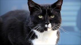 Закройте вверх по черному белому мужскому коту видеоматериал