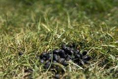 Закройте вверх по черному экскременту козы цвета на земле зеленой травы Естественное удобрение позем Сельское хозяйство Дерьмо ко Стоковые Фото