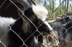 Закройте вверх по черно-белой козе есть солому за клеткой в зоопарке Финляндии Стоковая Фотография RF