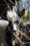 Закройте вверх по черно-белой козе есть солому за клеткой в зоопарке Финляндии Стоковое Изображение RF