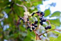 Закройте вверх по ягодам на дереве Стоковые Изображения RF