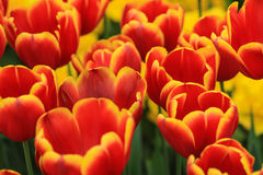 Закройте вверх поля красных тюльпанов с желтыми краями Стоковое Фото