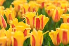 Закройте вверх поля с желтыми тюльпанами с красными самыми интересными стоковая фотография rf