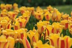 Закройте вверх поля с желтыми тюльпанами с красными самыми интересными стоковые изображения rf