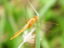 Закройте вверх по dragonfly Стоковые Фото