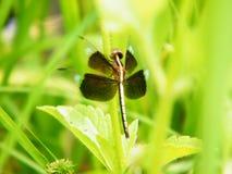 Закройте вверх по dragonfly Стоковые Фотографии RF