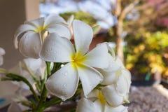 Закройте вверх по eautiful очаровательному plumeria белого цветка Стоковое фото RF