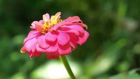 Закройте вверх по 4k съемке, розовое violacea Cav Zinnia цветка Zinnia в саде лета на солнечный день видеоматериал