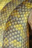 закройте вверх по Moluccan коже змейки питона стоковые изображения rf