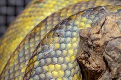 закройте вверх по Moluccan коже змейки питона стоковая фотография rf