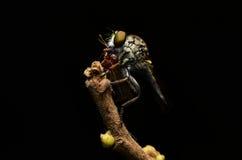 Закройте вверх по Robberfly (Asilidae) Стоковое Изображение RF