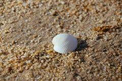 Закройте вверх по seashell Стоковое Изображение RF
