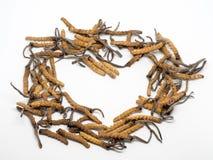 Закройте вверх по sinensis CHONG CAO Ophiocordyceps, ДУНУ CHONG XIA CAO или cordyceps гриба это травы стоковое изображение