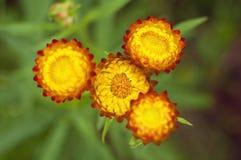 Закройте вверх по strawflower стоковые изображения rf