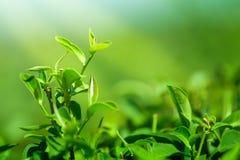 Закройте вверх по treetop листьев зеленого чая в плантации чая Стоковое Изображение