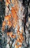 Закройте вверх предпосылки текстуры коры дерева Стоковое фото RF
