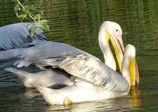 Закройте вверх при пеликаны ища еда в воде - одичалая птица стоковые изображения rf