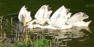 Закройте вверх при пеликаны ища еда в воде - одичалая птица стоковое изображение rf