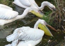 Закройте вверх при пеликаны ища еда в воде - одичалая птица стоковые фотографии rf