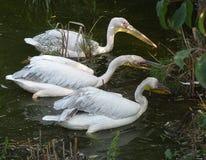 Закройте вверх при пеликаны ища еда в воде - одичалая птица стоковое изображение