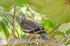 Закройте вверх птицы голубя на ветви Стоковые Изображения