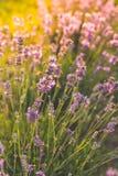 Закройте вверх пчелы меда на лаванде в солнечном сезоне лета стоковое фото rf