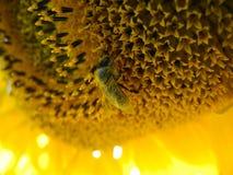 Закройте вверх пчелы меда на солнцецвете, покрытый с цветнем Стоковые Фотографии RF