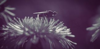 Закройте вверх пчелы на цветке маргаритки Стоковое Изображение RF
