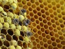 Закройте вверх пчел насиживая от сота с космосом экземпляра стоковое фото rf