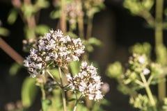 Закройте вверх пчелы меда извлекая форму нектара цветеня на душице засаживают в органическом саде Стоковые Изображения
