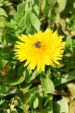 Закройте вверх пчелы на желтом цветке Стоковая Фотография