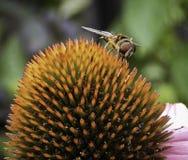 Закройте вверх пчелы сидя на цветке Стоковое Изображение