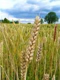 Закройте вверх пшеницы Стоковые Фото