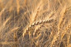 Закройте вверх пшеничного поля стоковые фото